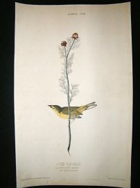 Audubon Havell: C1830 Selby's Fly Catcher. Folio 1st Edition. Hand Col